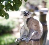 Ritratto del primo piano del catta del lemur Fotografia Stock Libera da Diritti