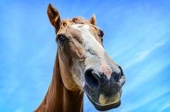 Ritratto del primo piano del cavallo Immagini Stock