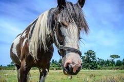 Ritratto del primo piano del cavallo Fotografia Stock Libera da Diritti