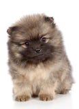 Ritratto del primo piano del cucciolo dello spitz di Pomeranian fotografia stock libera da diritti