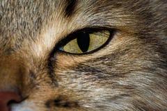Ritratto del primo piano del gatto siberiano osservato verde Fotografie Stock Libere da Diritti