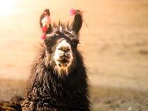 Ritratto del primo piano del lama marrone, le Ande, Sudamerica Fotografia Stock