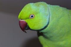 Ritratto del primo piano del pappagallo Fotografia Stock Libera da Diritti