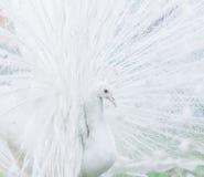 Ritratto del primo piano del pavone maschio Immagini Stock