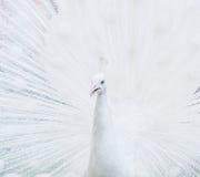Ritratto del primo piano del pavone maschio bianco Fotografie Stock Libere da Diritti