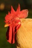 Ritratto del primo piano del pollo fotografia stock