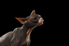 Ritratto del primo piano del punto di vista di Sphynx Cat Front di allungamenti sul nero Immagini Stock Libere da Diritti
