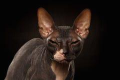 Ritratto del primo piano del punto di vista scontroso di Sphynx Cat Front sul nero Immagini Stock Libere da Diritti