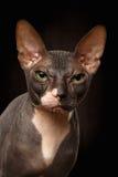 Ritratto del primo piano del punto di vista scontroso di Sphynx Cat Front sul nero Fotografia Stock