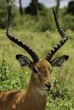 Ritratto del primo piano dell'antilope maschio dei cervi dell'impala Fotografia Stock