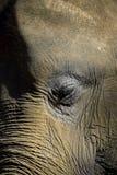 Ritratto del primo piano dell'elefante dell'occhio e del fronte Immagini Stock Libere da Diritti