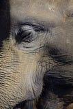 Ritratto del primo piano dell'elefante dell'occhio e del fronte Fotografia Stock Libera da Diritti
