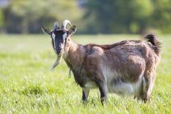 Ritratto del primo piano della capra adulta irsuta domestica marrone con il lo Immagini Stock