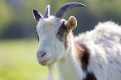 Ritratto del primo piano della capra irsuta domestica chiazzata bianca e marrone Immagini Stock