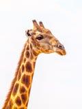 Ritratto del primo piano della giraffa con il collo capo e lungo su fondo bianco, fauna selvatica africana nel parco nazionale di Fotografia Stock