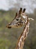 Ritratto del primo piano della giraffa di maasai immagine stock