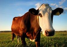 Ritratto del primo piano della mucca marrone Immagine Stock Libera da Diritti