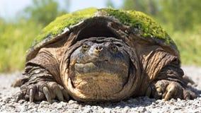 Ritratto del primo piano della tartaruga di schiocco Fotografie Stock Libere da Diritti