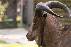 Ritratto del primo piano delle pecore di Barbary Fotografie Stock Libere da Diritti