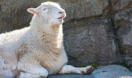 Ritratto del primo piano delle pecore sorridenti Immagine Stock Libera da Diritti