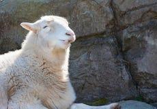 Ritratto del primo piano delle pecore sorridenti Immagini Stock