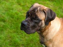 Ritratto del primo piano di bella età rara della razza del cane quattro mesi di Boerboel sudafricano Mastino sudafricano Immagini Stock