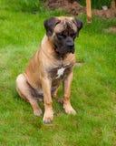 Ritratto del primo piano di bella età rara della razza del cane quattro mesi di Boerboel sudafricano sui precedenti verdi ed ambr Fotografia Stock Libera da Diritti