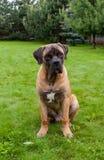 Ritratto del primo piano di bella età rara della razza del cane quattro mesi di Boerboel sudafricano sui precedenti verdi ed ambr Fotografie Stock