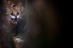 Ritratto del primo piano di Lynx in foresta Fotografia Stock Libera da Diritti