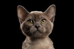 Ritratto del primo piano di piccolo Gray Burma Kitty, fondo nero isolato immagine stock