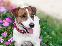 Ritratto del primo piano di piccolo terrier bianco e marrone sorridente felice adorabile di Russel della presa del cane che sta n immagine stock