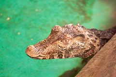 Ritratto del primo piano di un alligatore Fotografia Stock