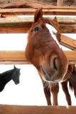 Ritratto del primo piano di un cavallo Fotografia Stock Libera da Diritti