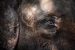 Ritratto del primo piano di un elefante Immagine Stock Libera da Diritti