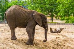 Ritratto del primo piano di un elefante africano con le piccole zanne, specie animale vulnerabile dall'Africa fotografia stock
