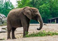 Ritratto del primo piano di un elefante africano con le zanne, specie animale vulnerabile dall'Africa fotografia stock libera da diritti