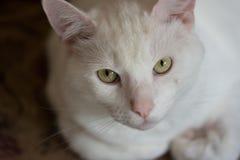 Ritratto del primo piano di un gatto bianco Fotografia Stock