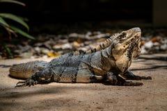 Ritratto del primo piano di un'iguana di riposo nel Messico fotografia stock