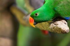 Ritratto del primo piano di un pappagallo verde con un becco rosso che si siede su un ramo fotografie stock libere da diritti