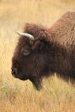 Ritratto del primo piano di una Buffalo adulta con Autumn Glasslands come a Fotografia Stock