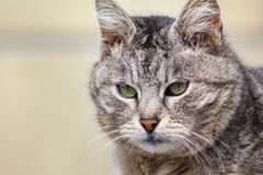 Ritratto del primo piano del gatto severo e serio arrabbiato grigio che guarda rigorosamente B fotografia stock