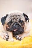 Ritratto del primo piano un cane del carlino che mastica il suo osso favorito dell'ossequio Immagini Stock