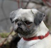 Ritratto del Pug Fotografia Stock Libera da Diritti