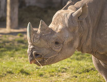 Ritratto del rinoceronte Fotografia Stock
