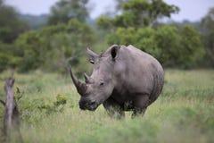 Ritratto del rinoceronte africano bianco vagante libero Immagine Stock