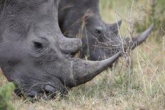 Ritratto del rinoceronte africano bianco vagante libero Immagini Stock Libere da Diritti