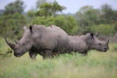 Ritratto del rinoceronte africano bianco vagante libero Fotografia Stock Libera da Diritti