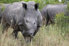 Ritratto del rinoceronte africano bianco vagante libero Fotografia Stock