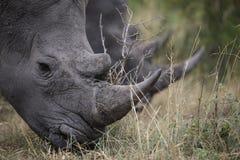 Ritratto del rinoceronte africano bianco vagante libero Fotografie Stock