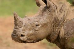 Ritratto del rinoceronte bianco Fotografia Stock Libera da Diritti